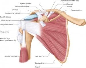 anatomie-van-schouder